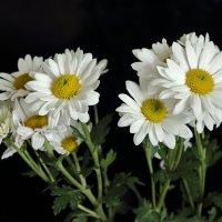 Белые голландские хризантемы :: Светлана