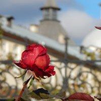 Осенняя роза :: Наталья