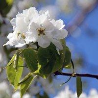 Дикая груша цветет :: Екатерина Торганская