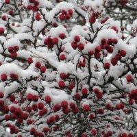 Яблочки под снегом. :: Вячеслав Медведев