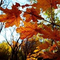 Кленовое солнце. :: Taras Romanishin