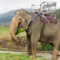 Слониха отдыхает после катания туристов и кушает сахарный тростник. :: Вадим Синюхин