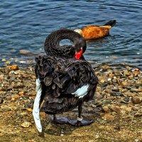 Так вот зачем лебедю такая длинная шея ! :: Анатолий. Chesnavik.
