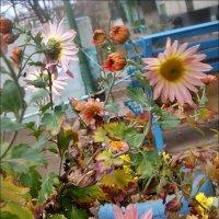 Такие милые хризантемы :: Нина Корешкова