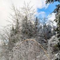 В ледяных оковах деревья :: Светлана Л.