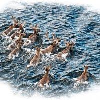 Плывущие Карибу :: Alexander Dementev