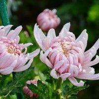 Цветы :: Виктория Калицева