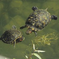 Черепахи. :: Николай Крюков
