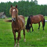 Лошади гуляют по селу :: Сергей Чиняев