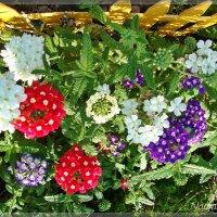 Разноцветие вербен :: Лидия (naum.lidiya)
