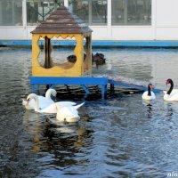 Лебеди в парковом пруду :: Нина Бутко
