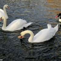 Лебеди на пруду :: Нина Бутко