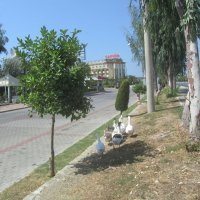Турция,гуси :: tgtyjdrf