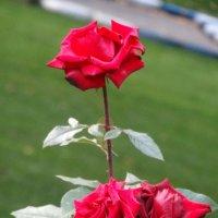 Октябрь,розы в парке... :: Тамара (st.tamara)