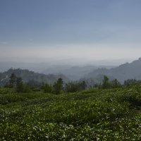 В краю тамилов. Чайные плантации. Land of the Tamils :: Юрий Воронов