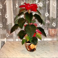 Мой новенький цветочек - пуансетия :: Нина Корешкова