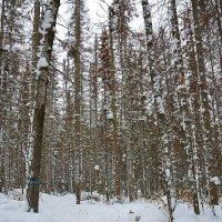 В зимнем лесу :: Андрей В