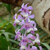 Орхидеи. :: Paparazzi