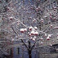 Рябина зимой :: Tarka