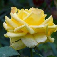 Солнечная роза... :: Тамара (st.tamara)