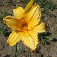 городские цветы-лилейник :: Олег Лукьянов