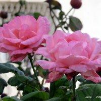 Осенние розы. :: Валерьян