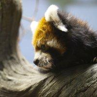 Рыжая панда :: Мария Самохина