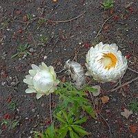 Последние цветы осени :: Маргарита Батырева