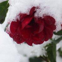Роза снегом укрылась от мороза. :: Вячеслав Медведев