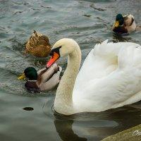 Белый лебедь на пруду :: Сергей Малый