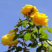 Желтые розы :: Оля Богданович