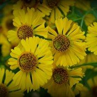 цветы :: оксана