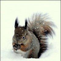 Белка зимой  /3/ :: Сергей