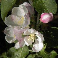Яблони в цвету, я не забуду :: Регина Пупач