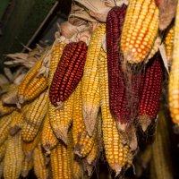 Кукуруза :: Евгений Астахов