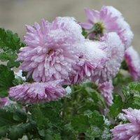 Хризантемы сегодня в снегу... :: Татьяна Смоляниченко