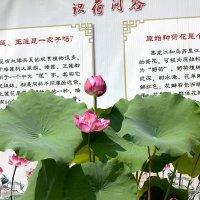 Лотос - цветок Будды. :: Виталий Селиванов