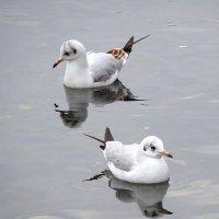 Чайки на озере :: Маргарита Батырева