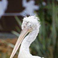 Кудрявый пеликан :: Мария Самохина