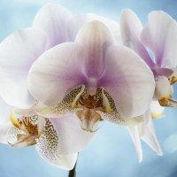 Орхидея фаленопсис Утренняя Заря :: Ирина Приходько