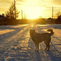 Пёс золотого заката :: Сергей Шаврин