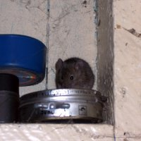 Мышка :: Oleg Arince