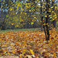 Краски осеннего  леса :: Милешкин Владимир Алексеевич