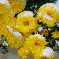 Хризантемы под снегом. :: Оля Богданович