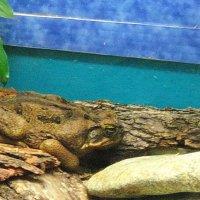 Лягушки....ннну очень большие :: Владимир Гилясев