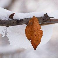 Red leaf :: Олег Шендерюк