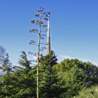 Редкие цветы агавы... :: СветЛана D