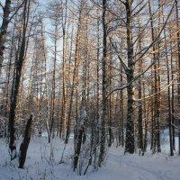 Деревья  позолотило солнце в декабре :: Елена Павлова (Смолова)