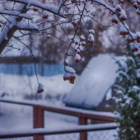 яблоки в снегу :: Геннадий Федоров