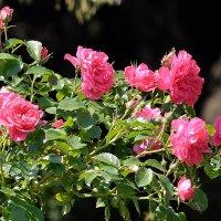 Розы :: Vladimir Lisunov